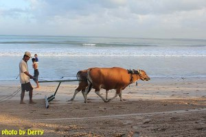 Seorang bapak menggunakan dua ekor sapi untuk meratakan pasir di kawasan Pantai Jimbaran.